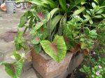 növény utcai virágládában Pondicherryben