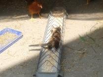 Innen aztán jól lehet riogatni a csirkéket!